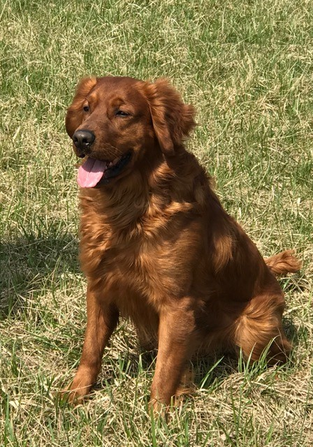 Golden retriever puppies for sale in upstate ny