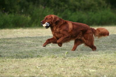 Bounderhill Goldens, Golden Retrievers, Dark Red Golden
